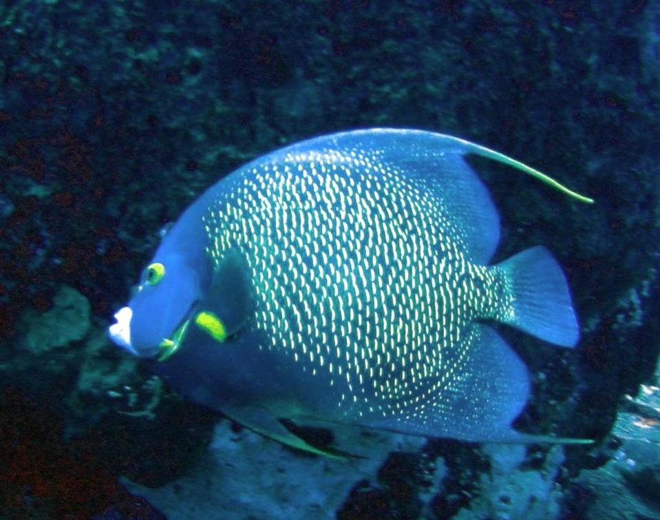 Poisson Ange Français Jardin de Corail (French angel fish) Pomacanthus paru