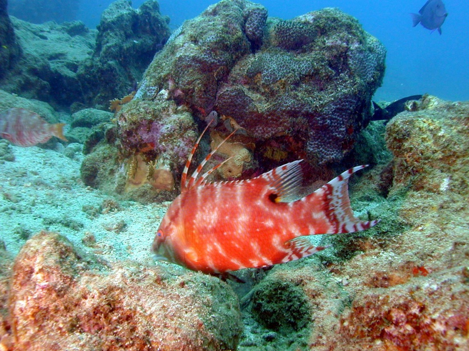 Poisson Capitaine jardin de Corail (Hogfish) Lachnolaimus maximus