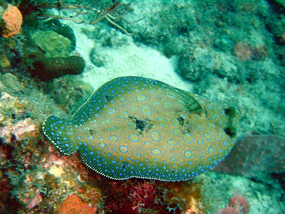 Sole carrelet Jardin de Corail (Peacock Flounder) Bothus Lunatus