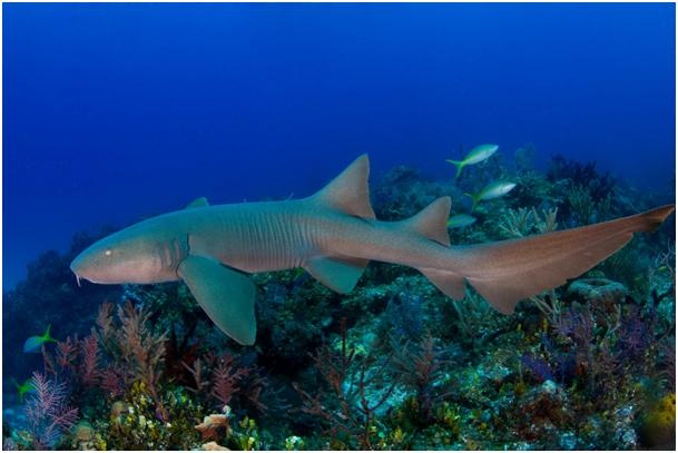 Rare vidéo d'une plongée avec un requin en Guadeloupe !